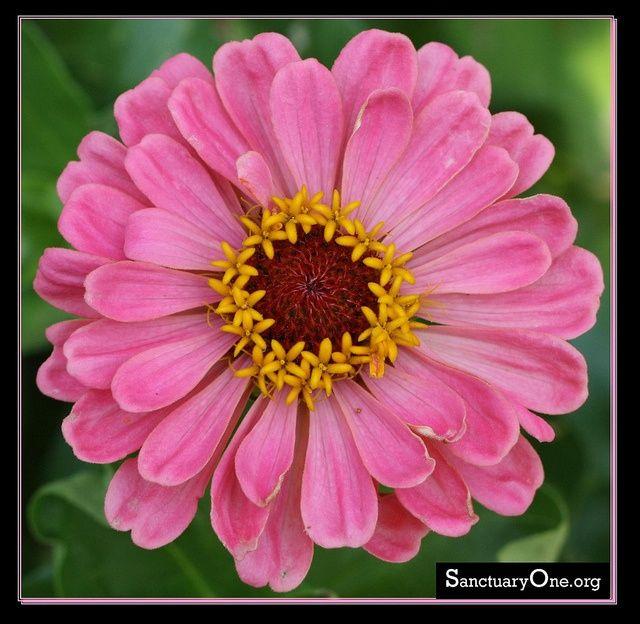 best  zinnia flower pictures ideas on   dahlia flower, Beautiful flower