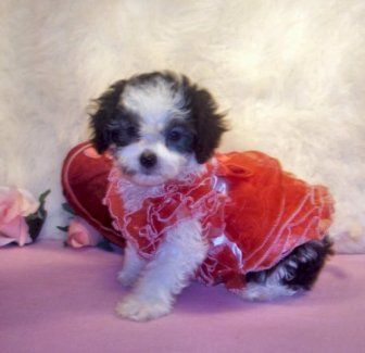 Recent photos in I Love Maltipoos | experienced Maltipoo breeder. Maltipoo BreederToy Maltipoos, Maltipoo ...