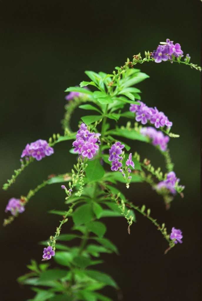 Hardy Plants Laugh Off Heat And Drought Perennials