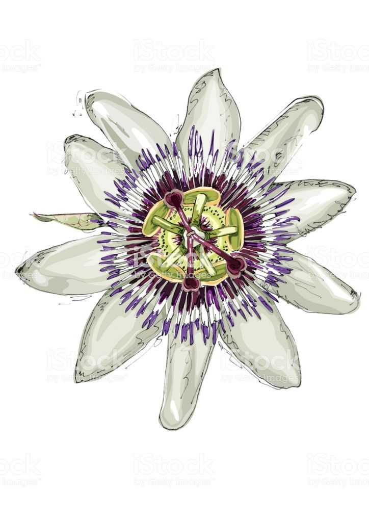 Hand Drawn And Vector Illustration In 2020 Passion Flower Flower Art Flower Drawing