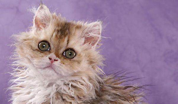 BEAUTIFUL CURLY HAIRED CAT BREEDS IN THE WORLD, Curly cat, curly haired cat, cat, beautiful curly haired cat, beautiful curly cat, beautiful pussy, beautiful cat, haired cat, amazing curly haired cat, awesome curly haired cat Selkirk Rex, LaPerm, Devon Rex, Cornish Rex, American Wirehair, German Rex, Lambkin Dwarf, Skookum #BEAUTIFULCURLYHAIREDCATBREEDSINTHEWORLD   #Curlycat  #curlyhairedcat  #cat  #beautifulcurlyhairedcat  #beautifulcurlycat  #beautifulpussy  #beautifulcat  #hairedcat…