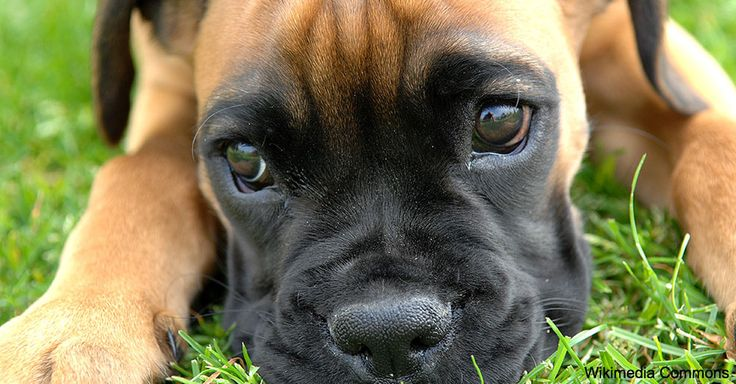 PUP QUIZ: How Much Do You Know About The Boxer Breed?