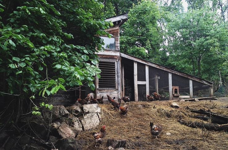This chicken coop was my husbands first building project many years ago. Made with wood he milled from our own property and wood from the Woods Man who owns the little local mill up the road. Windows and doors from the dump and second hand store in town. I love this building. #chickencoop #builtwithlove #goldlacedwyandottes #heritagebreed #bedrockandbrambles