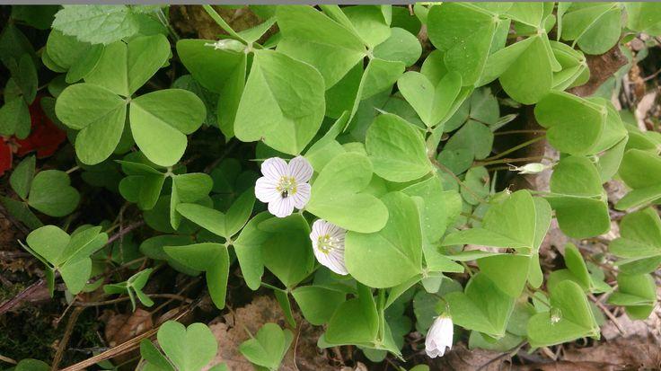 Кислица обыкновенная (лат. Oxális acetosélla) — многолетнее травянистое растение. Народные названия — «заячья капуста» и «кукушкин клевер». Растет в хвойных лесах. Цветёт в конце весны — начале лета (май — июнь). Растение ядовито, но одновременно является лечебным. Применяется в виде настоев и отваров травы. Используют как желчегонное, мочегонное, противовоспалительное, регулирующее пищеварение средство, для устранения дурного запаха изо рта, при нарушениях обмена веществ, кожных болезнях.