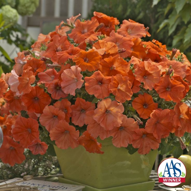 Petunia African Sunset F1 Container Plants Petunia Plant Plants