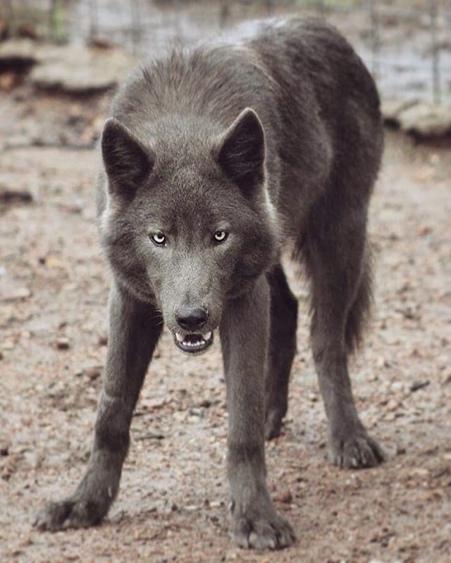 Blue Wolf Dog? – Natur – #Blau #Hund #Natur #Wolf   – Beautiful Animals