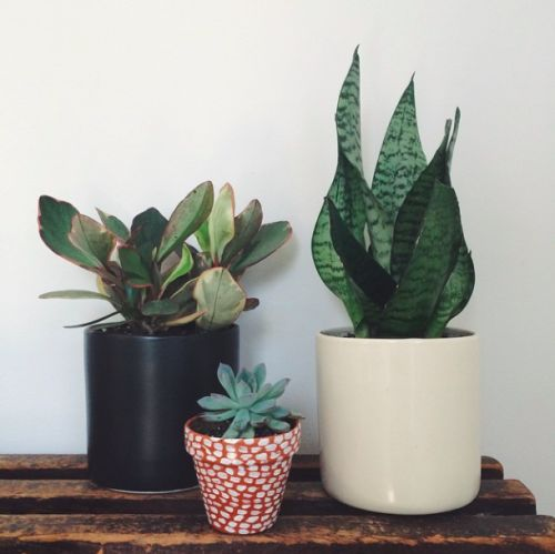 Mix and match your planters! A houseplant trio including a variegated baby rubber plant in matte black ceramic cylinder, an echeveria succulent in DIY painted terra cotta, and a snake plant in white ceramic cylinder. Ceramics + plants by The Sill // polka dot terra cotta by Rebecca Atwood.