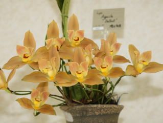 世界らん展日本大賞2008 リカステ Japan Grand Prix International Orchid Festival 2008 Lycaste