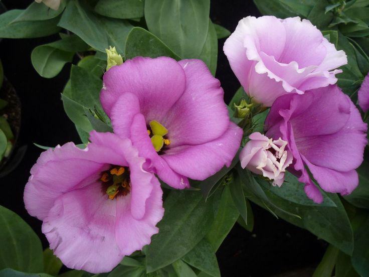 Liziantuszt a vázába, kertbe, cserépbe! A virágzó liziantusz az elegancia és a szépség megtestesítője. Vedd meg cserépben vagy kérd vágott virágát. Vázaélete 2-3 hét, sokféle színben kapható, virágformája különleges. Természetes szimpla virágú formái mellett kaphatók telt virágú változatok is. http://kertlap.hu/liziantuszt-vazaba-kertbe-cserepbe/