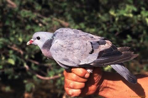 Stock Dove 8