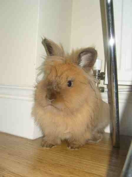 Brown and white lionhead rabbit - photo#42