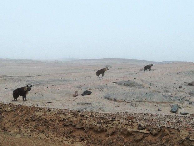 Amazing sightings of brown hyaena on Namibia's Skeleton Coast around the Hoanib