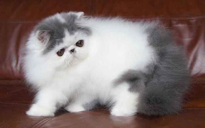 Alfenloch Himalayan and Persian kittens, Ontario, Canada - 2014 Himalayan…
