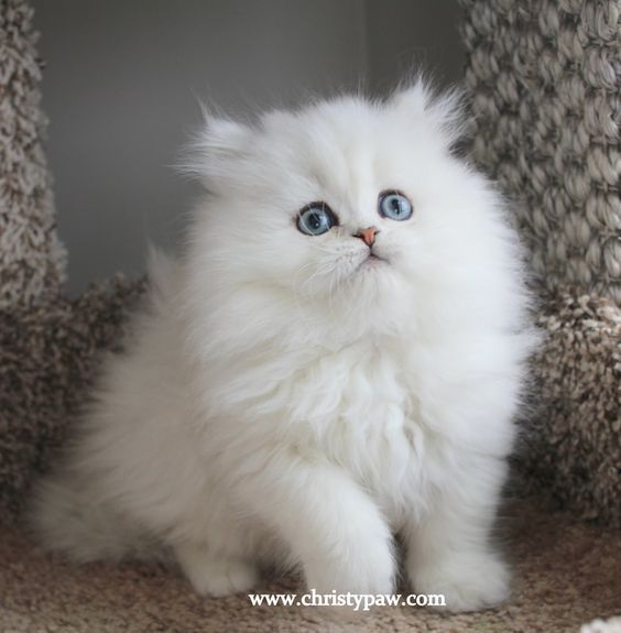 Christypaw Persians Silver Shaded Silver Chinchilla Golden Blue Golden Persian Kittens For Sale In 2020 Teacup Persian Kittens Persian Cat White Persian Kittens