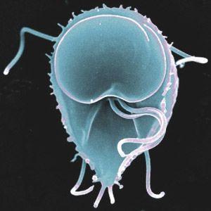 Giardia intestinalis  The eukaryotic intestinal parasite Giardia intestinalis  www.microbiologybytes.com    photo by AJ Cann