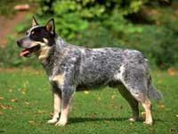 Австралийская пастушья собака - породы собак