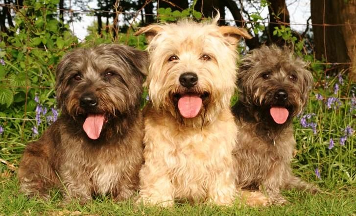 About Dog Glen of Imaal Terrier