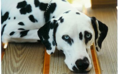 images of dalmatains getting a bath | Our first double blue-eyed dog, Thidwick Blue Angel is owned by Leslie ...