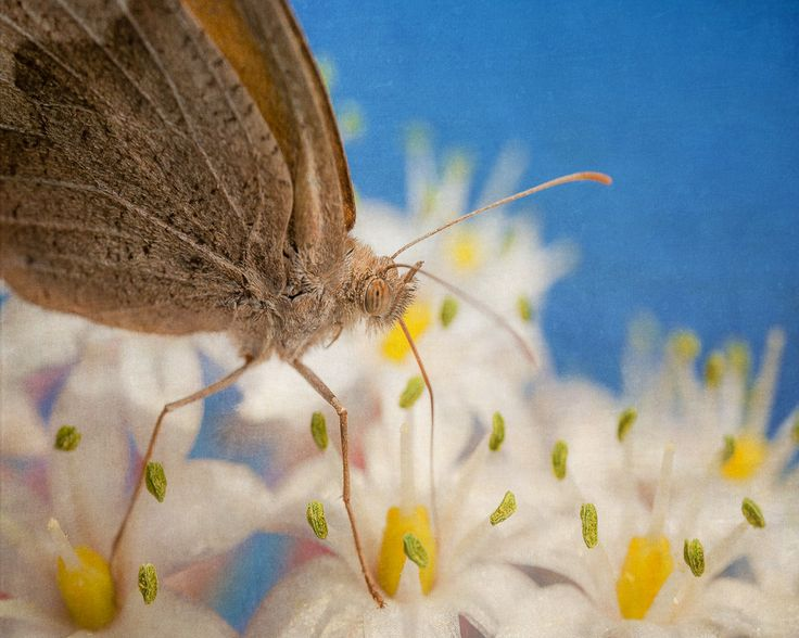 Meadow Brown (Maniola jurtina) butterfly, sucking nectar from the flowers of a Sea Squill (Charybdis maritima). Post-processed with Flypaper Textures. Available for print/canvas on 500px Art.