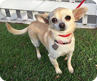 Santa Ana, CA - Chihuahua Mix. Meet Khloe (BH), a dog for adoption. http://www.adoptapet.com/pet/17221579-santa-ana-california-chihuahua-mix