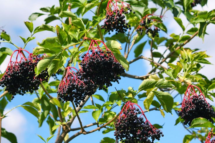 Elderberry is a large bush or shrub that produces bluishblack berries commonly used in wines, juices, jellies and jams. Growing elderberries is not difficult, and this article will help with that.