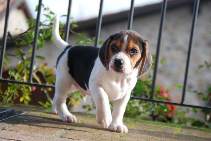 #beagle #minibeagle #poketbeagle #beaglepuppy #beaglepuppies