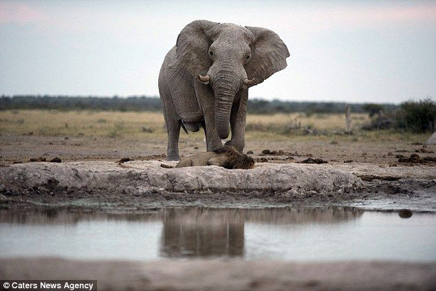 The thirsty lion was drinking from a watering hole and didn't notice the elephant approaching him from behind