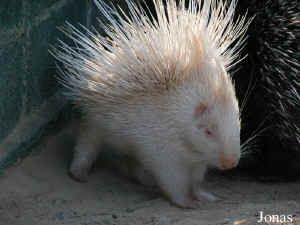 Albino porcupine.