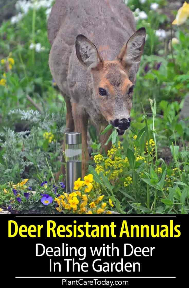 deer resistant annuals and other ways to deal with deer in