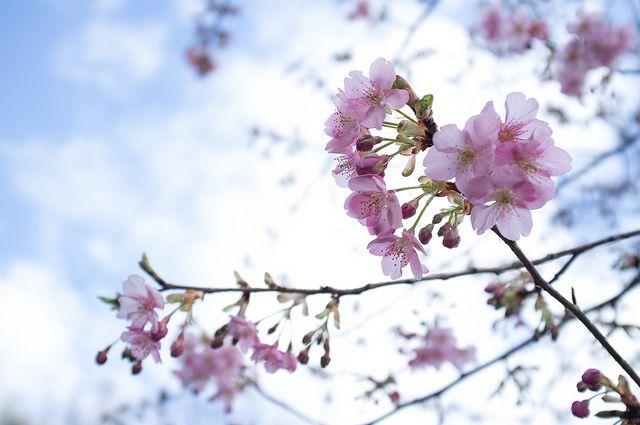 河津桜 by Kota Dad #Japan #Sakura