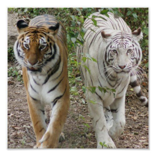 tigers pictures to print and facts | two tigers strutting white and bengal by wildones