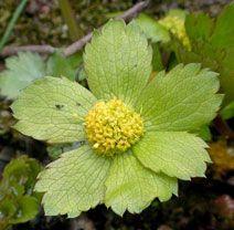 hvězdnatec zubatý Hacquetia epipactis kvete: (březen–)duben–květen výška: (10–)20–25(–30) cm  listnaté lesy, především dubohabřiny a květnaté bučiny, kvete před olistěním stromů, před výrazným zastíněním  řazen k druhům vyžadujícím pozornost