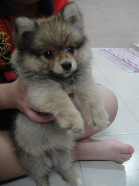 OMG! I wouldn't be able to stop cuddling with one of these D: puppy pomsky by RioLeigh
