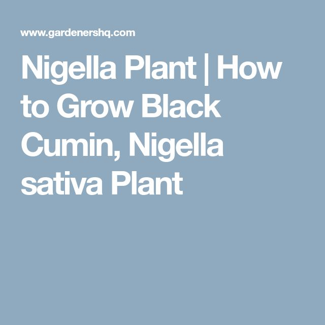 Nigella Plant | How to Grow Black Cumin, Nigella sativa Plant