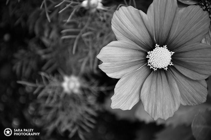 Sara Paley Photography @sarapaleyphoto #paleypix  black & white flowers