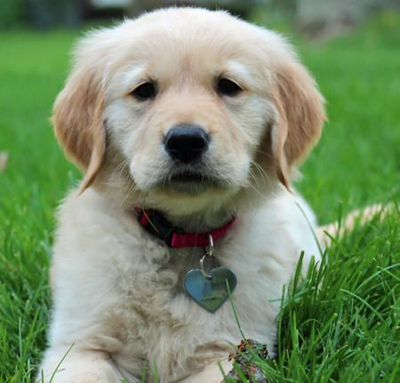 via the Daily Puppy  Puppy Breed: Golden Retriever  My name is Soleil, and I am both naughty and nice! I love to chew sticks, play fetch, and run in the yard. I'm a very smart little girl and am always looking for things to stick my nose into. I like to cuddle only when I'm ready for a nap. I am not afraid of anything except the vacuum cleaner, which sometimes gets me into trouble! Now that summer is here I love to splash in my little backyard pool, and play with as many doggy friends as I…