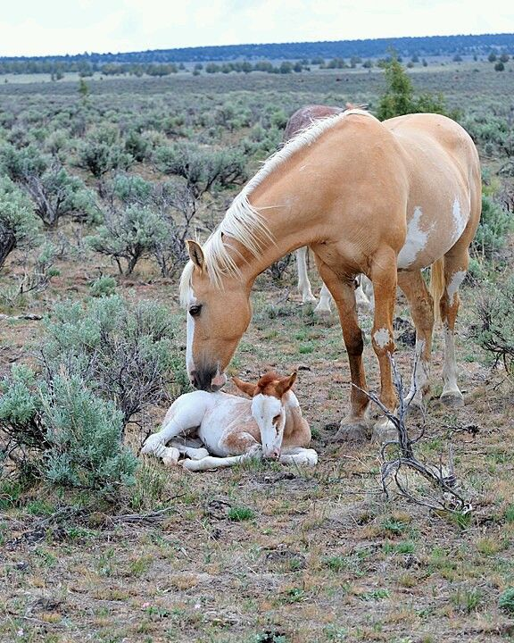Mustang and foal in wide open terrain. Beautiful colored horses. Simply stunning.