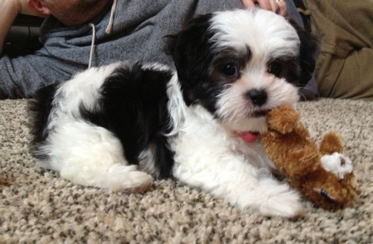 Our road to an eight week old Malshi (maltese shih tzu ...