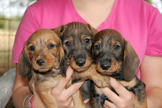 i nostri cuccioli di bassotto