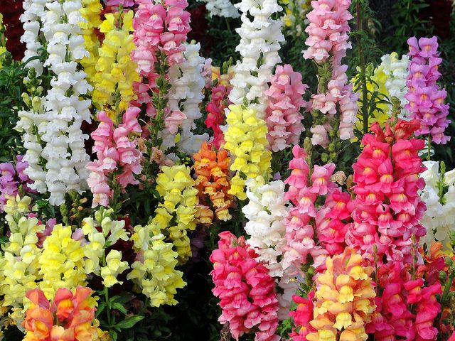 snapdragons. One of my favorite flowers!  They grow so well and definitely add gorgeous colors to your garden!
