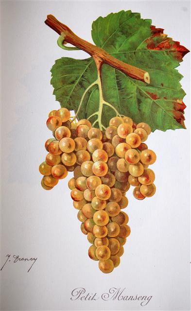 """Petit Manseng (sometimes translated: Small Manseng, rarely """"Little Manseng"""") is a white wine grape variety that is grown primarily in South West France. It produces the highest quality wine of any grape in the Manseng family. The name is derived from its small, thick skin berries. Coupled with the small yields of the grapevine, most Petit Manseng farmers produce around 15 hl of wine per hectare. The grape is often left on the vine till December to produce a late harvest dessert wine"""