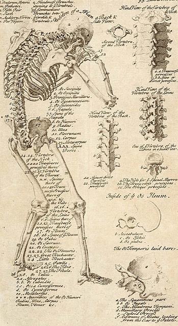 Anatomical chart from Cyclopaedia, 1728, volume 1, between pages 84 and 85.  Chambers, Ephraim, 1680 (ca.)-1740
