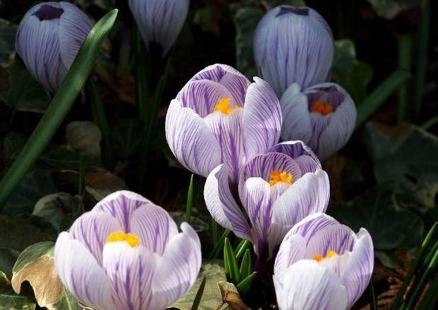 Över 1 000 Bilder Om Krokusse (crocus) På Pinterestväxter ... Hinweise Krokus Pflanzen Rasen Blumentopf