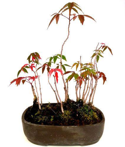 Rhus succedanea in autunno regala delle splendide variazioni di rosso.. #bonsai #rhusbonsai