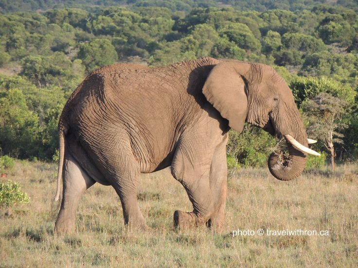 The African Elephant.  They are easily distinguishable from the Asian Elephant.  The Africa Elephant are larger, and among several other differences their ears are shaped as the map of Africa. :)   travelwithron.ca