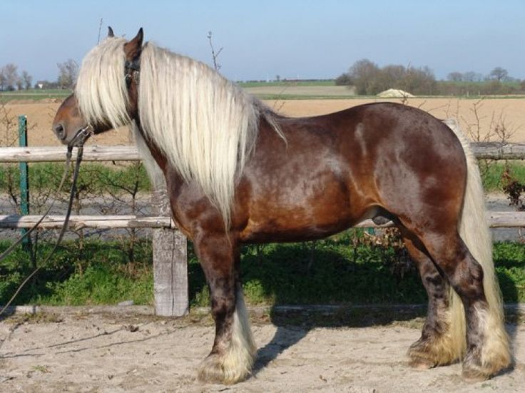 Comtois. A gentle and serene draft horse known for its precision in work. They seem to be on the smaller end of the working class horse. They might be the perfect draft horse for a smaller homestead.