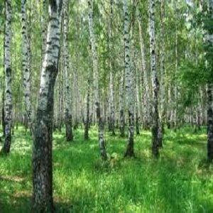Гороскоп друидов - фото дерево береза 2
