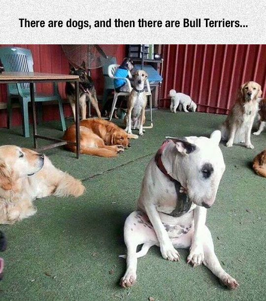 Bull Terriers Are A Little Different