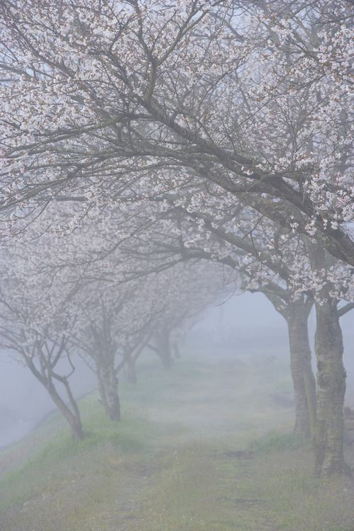 Cherry blossoms in the fog: Beautiful Bloom, Favorite Things, Favorite Places, Mists, Paris Cherries Blossoms, Cherries Trees, Beautiful Trees, Will, Cherry Blossoms