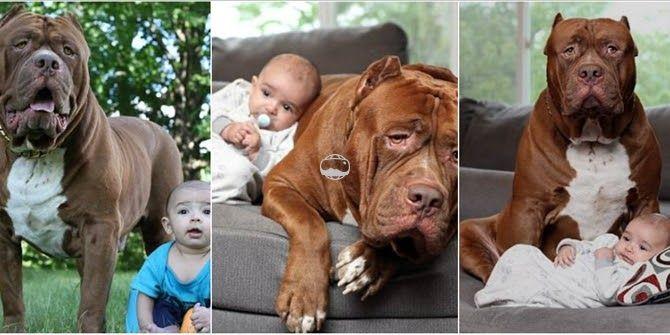 Η τέλεια νταντά: Το μεγαλύτερο pitbull του κόσμου λιώνει μπροστά σε ένα μωρό τριών μηνών